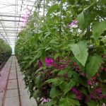 گلنور و طرح پایلوت نور مصنوعی در گلخانه